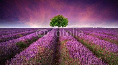 Stunning lavender field landscape Summer sunset with single tree ©veneratio