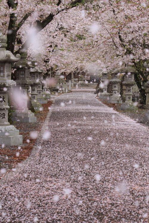 桜 吹雪と桜の絨毯の画像。。。散り際の美。