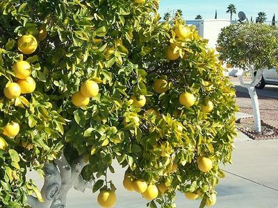 How to Prune a Grapefruit Tree (because ours is going to take over the entire yard)