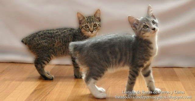 Listado de Razas de Perros y Gatos. Todos los tipos...: Raza de Gato Manx (Rumpy cat, Stubbin)
