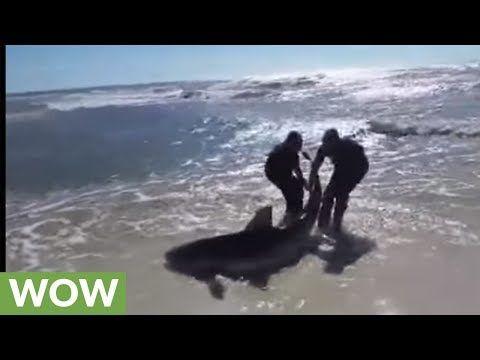 Brave fishermen rescue beached dusky shark - https://www.pakistantalkshow.com/brave-fishermen-rescue-beached-dusky-shark/ - http://img.youtube.com/vi/J4NleapYG0M/0.jpg