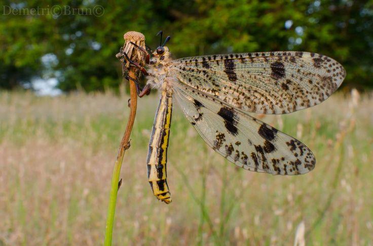 palpares libelluloide