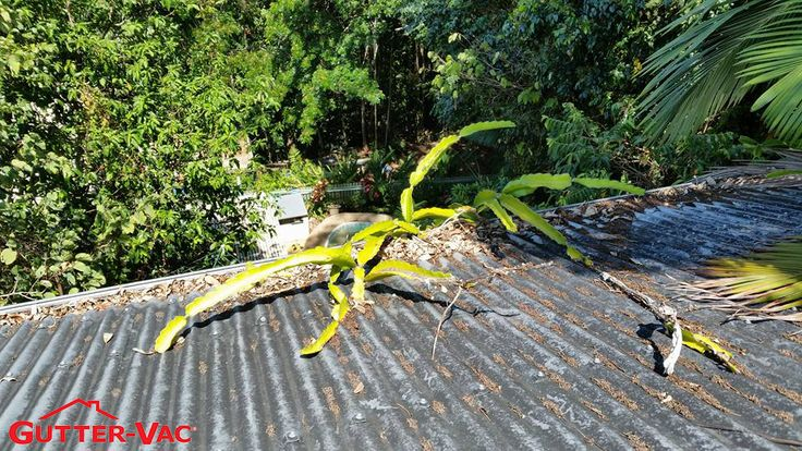 A great photo of a property in Far North Queensland that had its gutters cleaned by Gutter-Vac Cairns. Without regular cleaning of your gutters, your gutters will get debris build up like in this photo, which can and will cause irreparable damage to your gutters. If you live in or around Cairns, Port Douglas, Mossman, Atherton, Mareeba, Edmonton, Kuranda, Mission Beach, Palm Cove, Gordonvale, Babinda, Innisfail, then give Gutter-Vac Cairns a call 1300 654 253 or visit www.guttervac.com.au…