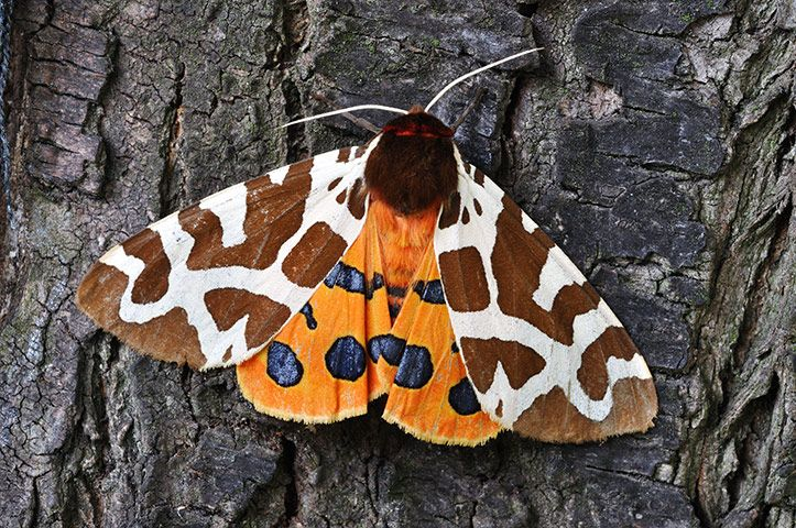 Garden TigerPerhaps the brightest of UK moths, and one of a vivid family.Credit: Andrzej Tokarski/Alamy