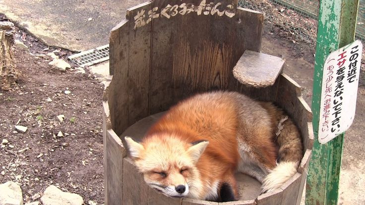 宮城蔵王キツネ村 cute animal video of a ZAO fox .relaxation video かわいい動物
