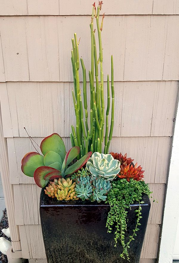 So much dramatic appeal is packed into Altman team member Justin Henline's planter. Between Sedum adolphii 'Firestorm' and Kalanchoe luciae (flapjacks) is the absolutely darling Echeveria 'Imbricata' variegata.