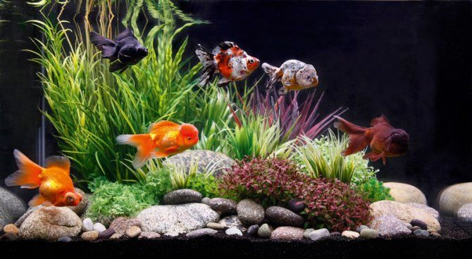 George Farmer responds to a challenge to set up a high-end artificial  aquascape for fancy goldfish.  Goldfish and aquascaping are two words rarely used in the same sentence. So  when PFK commissioned a set-up for fancy goldfish I looked forward to a new  challenge.  I had never kept high quality fancy goldfish before and was excited about  keeping something that contrasted so much with my usual taste in fish.  Concept  For instant impact and ease — as goldfish are rather prone to nibbling…