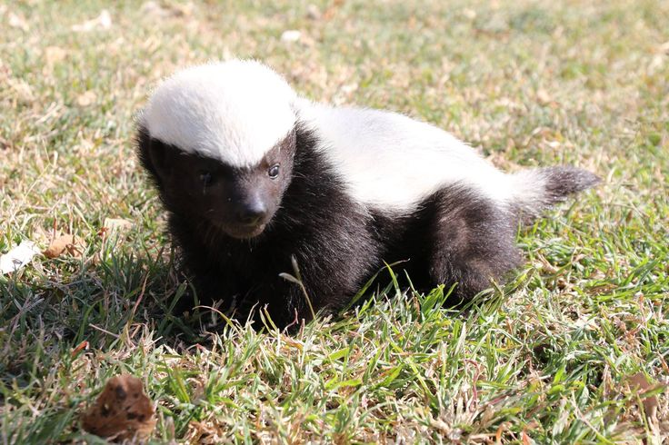 Meet Panda - son of the legendary honey badger Stoffel! #Moholoholo #AfricanConservationExperience