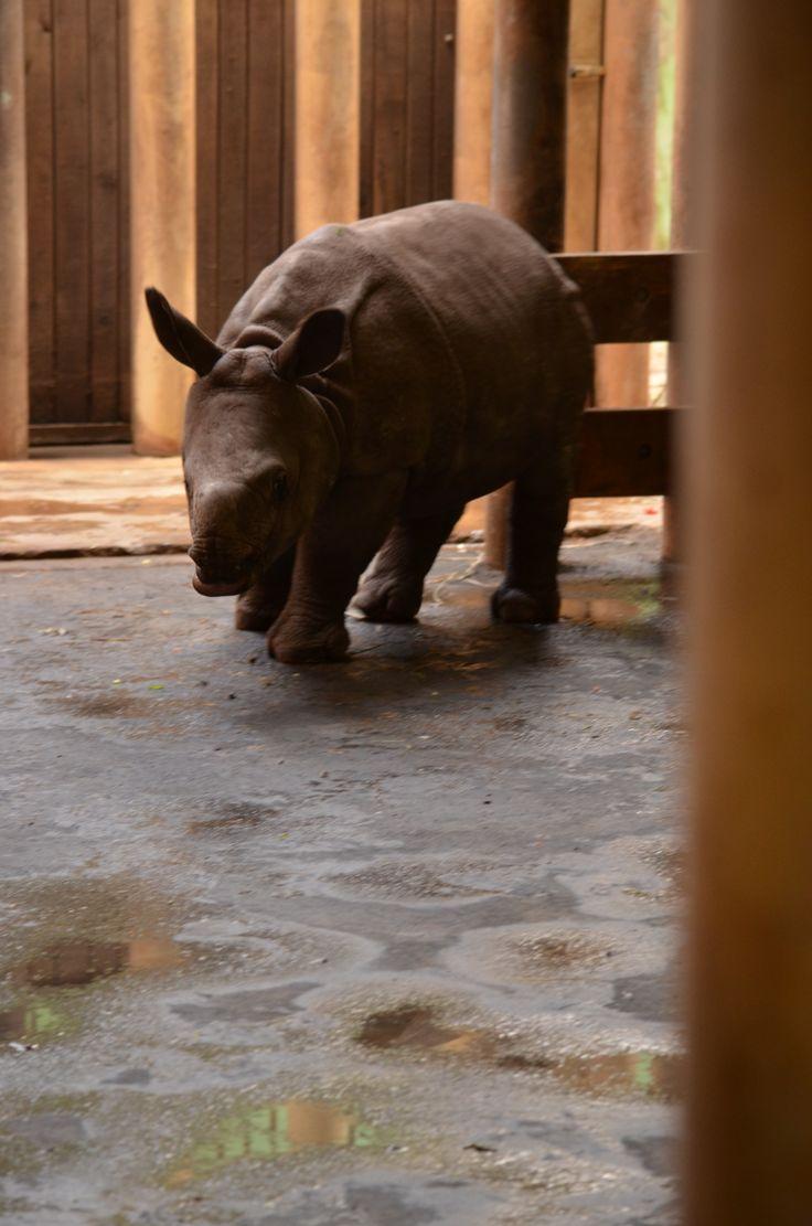 Zoo Plzeň - mládě nosorožce indického Maruška
