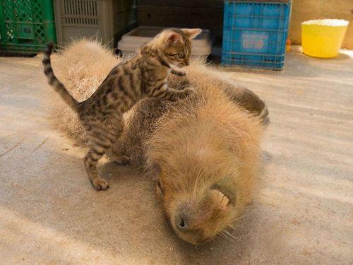 他の動物と仲良しのカピバラ15