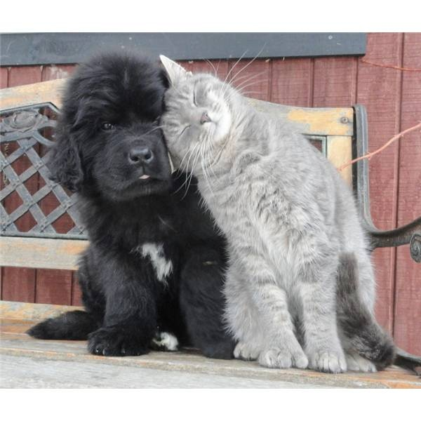 Newfoundland puppies and friendly kitties.