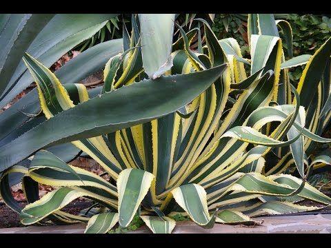 Агава – неприхотливое комнатное растение. Виды, уход и размножение