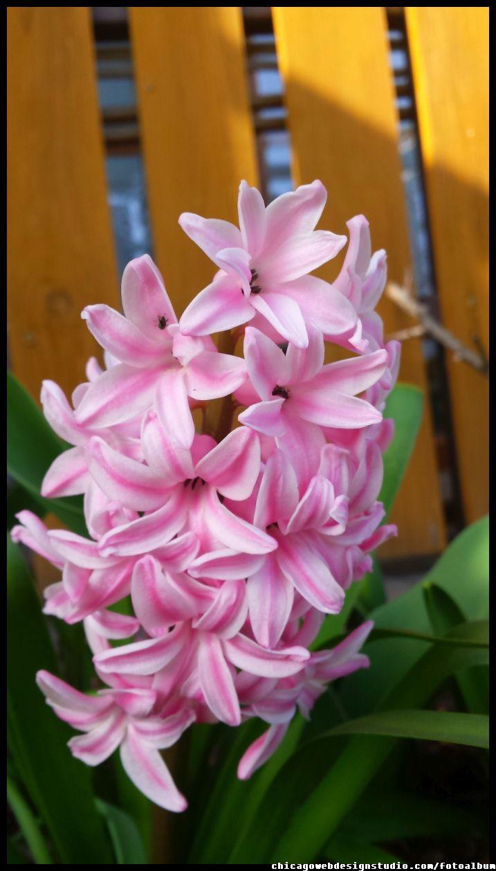 hiacynt - wiosna - kwiatek - flower - garden - ogród #kwiaty #flowers #polish flowers #polskie kwiaty #kwiatki #kwiaty ogrodowe #kwiaty polne #kwiaty leśne #przebiśniegi #śnieżyczki #pierwiosnki #kwiaty wiosenne #wiosna #spring #krokusy #przebiśniegi #hiacynty #przyroda #natura #kwiaty wiosenne #spring flowers #polish flowers #Polskie kwiaty #ogród #garden #ogrodnictwo #ogrodnik #garden-flower