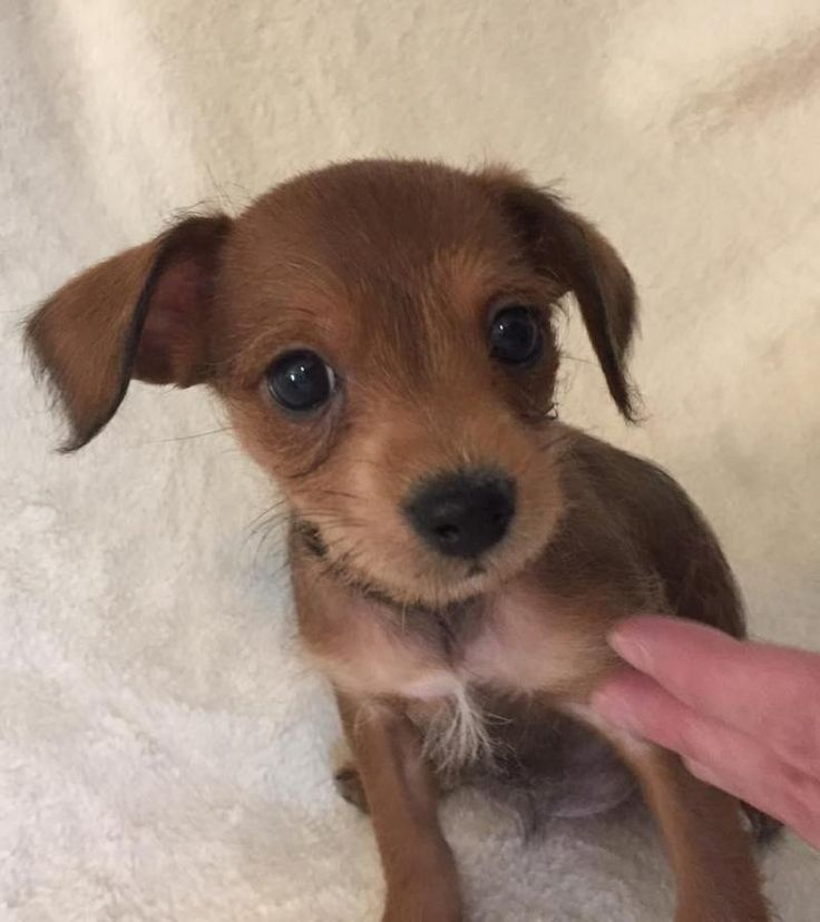 Adopt candy on australian terrier chihuahua mix dogs