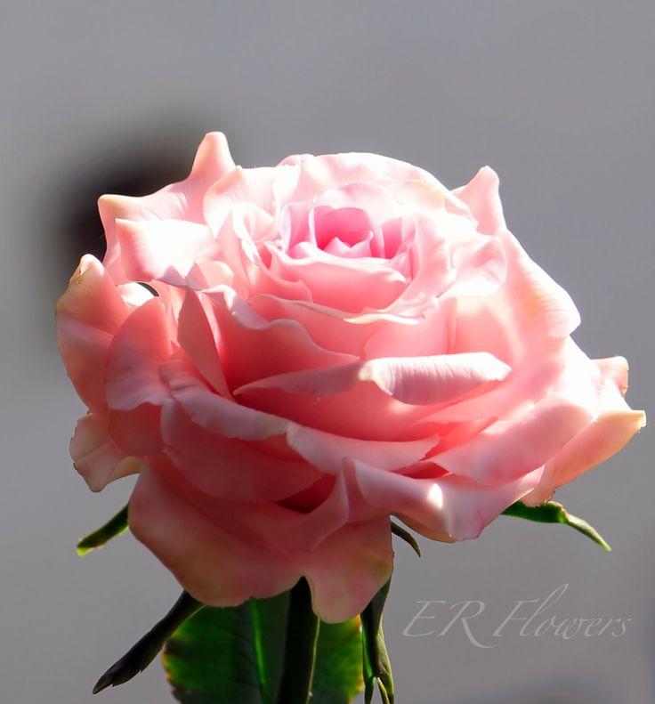 ER Flowers. Arte en porcelana fria...: Rose... Porcelana fria (polimer clay)...