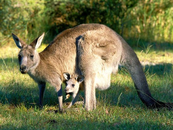 images of kangaroos | young eastern gray kangaroo, known as a joey, peers from its mother ...