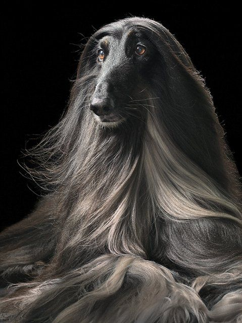 Love dogs with long noses like my Bella. Always wanted an afghan.: Afghans Hound Beautiful, Hound Dogs, Flach Dogs, Timflach, Dogs Photography, Long Hair Dos, Tim Flach, Afghans Houndbeauti, Dogs Clothing