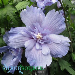 Hibiscus - Blue Chiffon Rose of Sharon