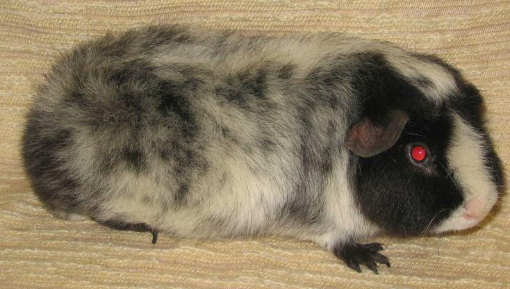 Teddy black dalmatian #Guineapig | Mira's marsut