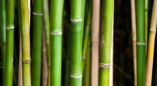 Quando parliamo di bambù ci riferiamo ad una delle più di 200 specie appartenenti a 20 generi di piante graminacee e tropicali e sub-tropicali, comuni
