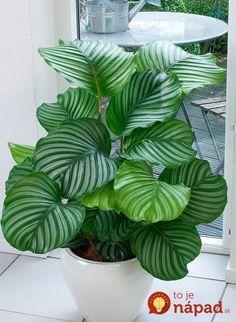 Tieto odrody rastlín sú skutočným darom znebies pre tých, ktorí chcú svoj domov oživiť zelenými rastlinami aj napriek tomu, že nemajú interiér dostatočne presvetlený. Týmto rastlinám sa skvele darí aj na tmavých miestach avzhoršeným svetelných podmienkach. Kalatea Krásne vzorované listy oživia každú miestnosť vo vašom byte. Ak ju však dáte na priame svetlo, nebude prosperovať....