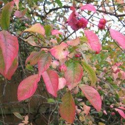 Euonymus europaeus Red Cascade - Fusain d'Europe
