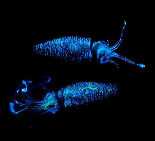 Não choco por qualquer meio, mas eles são bonitos e lulas não são dado muito amor no tumblr, infelizmente.  Estes são scintillans Watasenia, conhecidos comumente como a lula Enope Sparkling, ou lula vaga-lume.  Cada tentáculo tem uma photophore (a emissor de luz ...