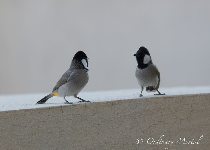 "Ordinary Mortal®: Dancing for you... Dancing for you... A pair of white eared bulbul out of my window at Dubai UAE. The male ""dancing"" for female attention... Ένα ζευγάρι white eared bulbul έξω από το παράθυρο μου στο Dubai. Το αρσενικό ""χορεύει"" για να κερδίσει τη προσοχή του θηλυκού..."