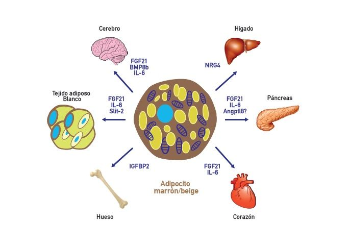 Brown adipose tissue, the main organ generating heat in the body, is also an endocrine organ that secretes signaling factors that activate the fat and carbohydrates metabolism.
