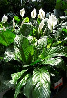 Indoor Peace Lily Plants Growing A Plant