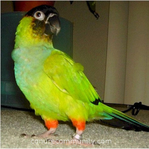 Nanday conure.Nanday conure once his name was Peppi. He was the coolest bird ever. He would cuddle up with me at night and sleep on his back.