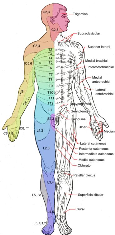 """A dermatome is an area of skin supplied by a particular spinal nerve. When you lose feeling in particular areas of skin, the loss of function can be linked to these spinal nerves. For instance, numbness on the pinky (medial) side of your arm in the area highlighted in green and labeled """"C8,T1"""" on the diagram could indicate damage cervical nerve8 (C8) and/or thoracic nerve 1 (T1)."""