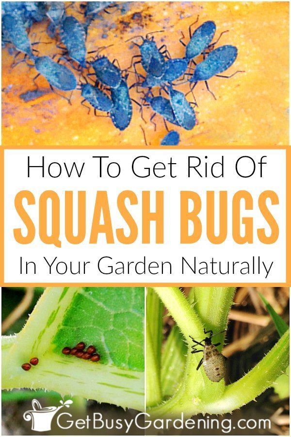 How To Get Rid Of Squash Bugs Naturally Squash Bugs Garden