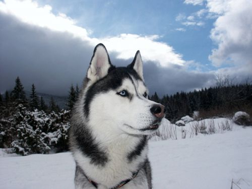 I love how the Huskey almost lookes 3D and the syline just draws you into the photo. It is beautiful.