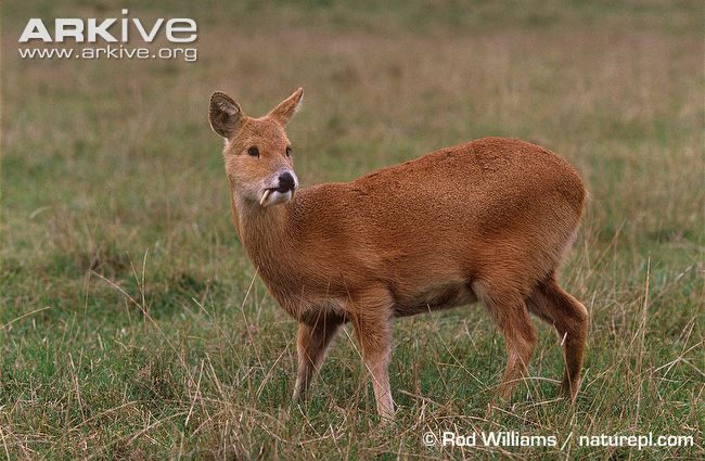 Male Chinese water deer in captive environment
