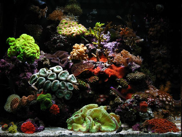 37 best images about nano reefs on pinterest more for Cool saltwater fish