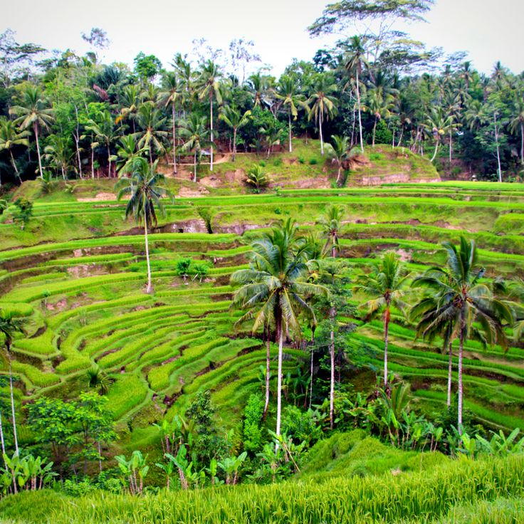 Tegalang Rice Terraces, Bali.