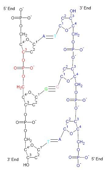 DNA Structure. 3' end - C-3' hydroxyl group on the ribose ring; 5' end…