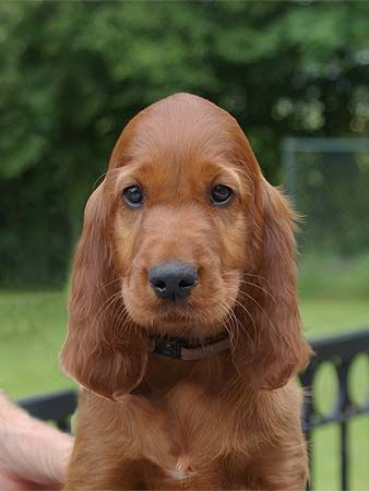 sweet Irish Setter puppy, this one has a  very pretty head and expression.
