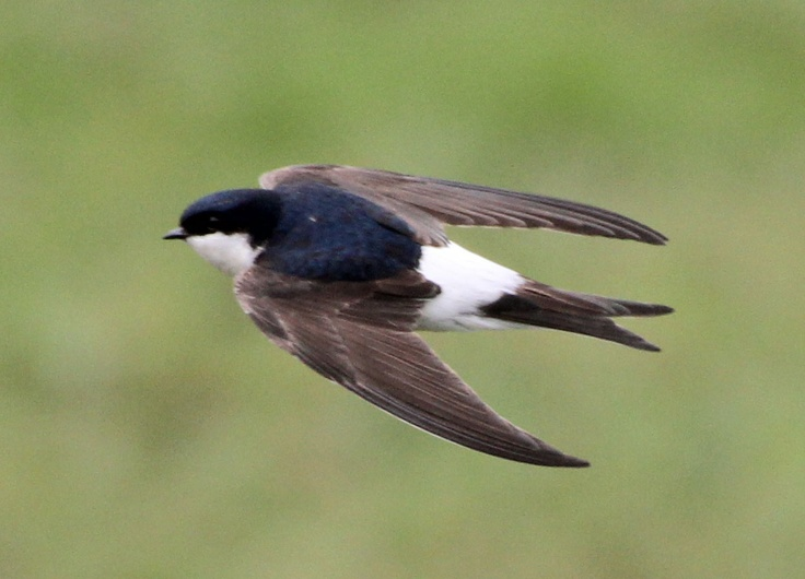 House martins nest under the farmhouse eaves every year.
