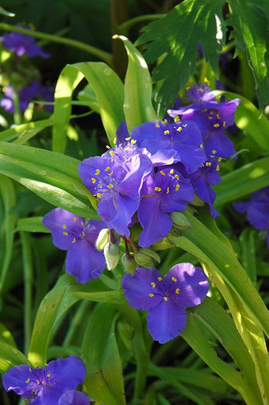 70 best plants for eastern exposure images on pinterest acer find sweet kate spiderwort tradescantia x andersoniana sweet kate in oklahoma city edmond norman moore oklahoma ok at tlc garden centers widows tears workwithnaturefo