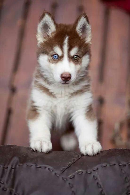 I got a new husky puppy or so I think?