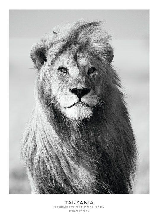 Schönes Poster mit Löwe, Schwarz-Weiß-Poster für eine Bilderwand