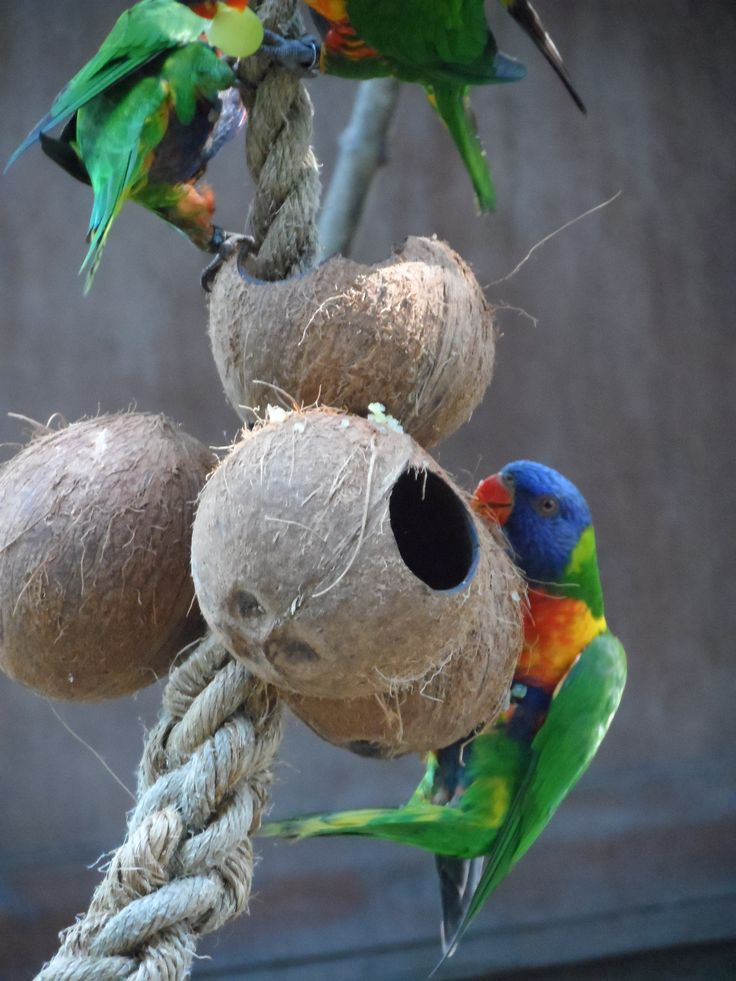 Bird Enrichment Toys : Hollowed coconut feeder for lorikeets enrichment