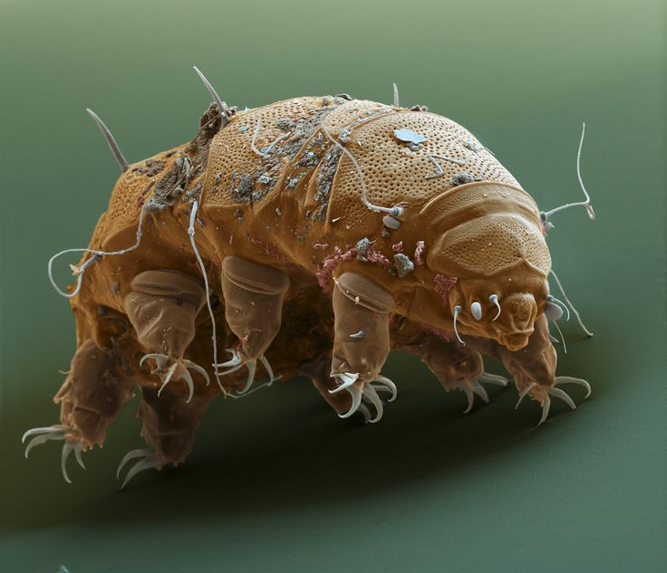 tardigrades | Tardigrades, Animals Immortal — Astronoo - 1024x881 - jpeg