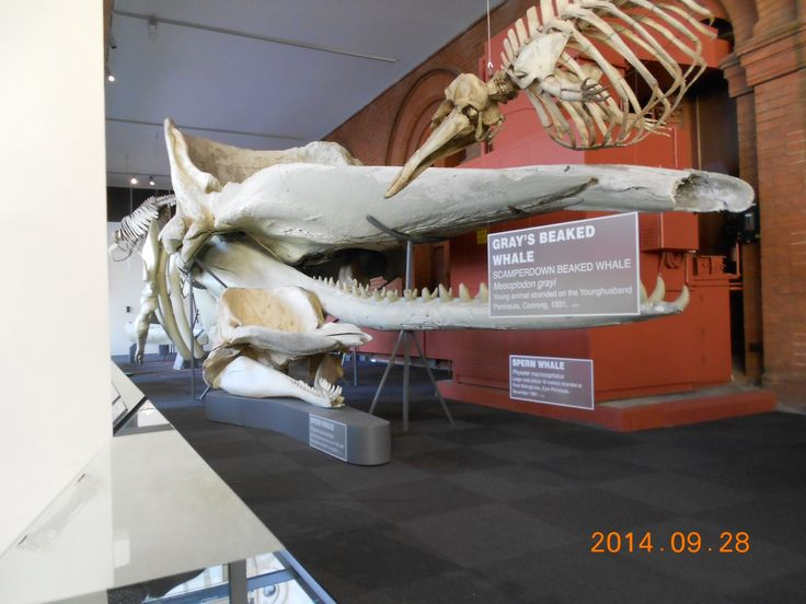 A sperm whale skeleton in the South Australia Museum of Natural History.