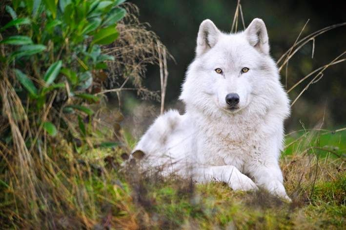 White Wolf: 30 Pictures That Will Make You Fall In Love With Wolves