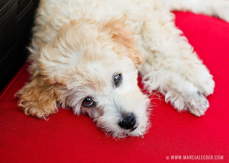 Wee Molly the mini doodle puppy. © www.marcialeeder.com