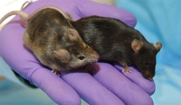 Επανέφεραν χαμένες μνήμες σε ποντίκια με Αλτσχάιμερ