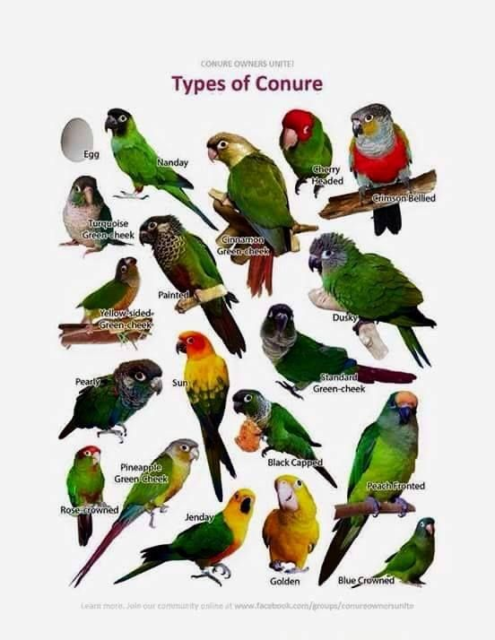 Types of Conures                                                       …